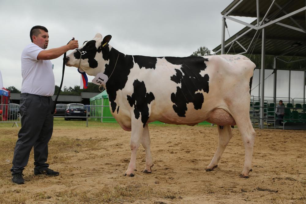 MW-krowa2