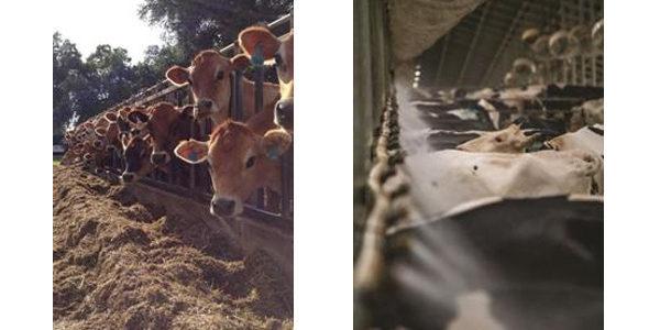 Zdrowsze cielę oraz wyższa produkcja mleka?